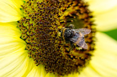 Bee in pollen Stock Photography