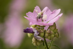 Bee Pollen. Be a covered in pollen on pink flower Royalty Free Stock Images