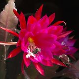Bee pollinating in blazing red cactus bloom Royalty Free Stock Images