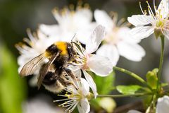 Bee with pollen on cherry flowers, bright sunny spring day royalty free stock image
