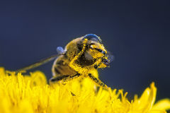 Bee pollen is cleaned. On a flower Stock Image