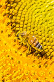 Bee and pollen Stock Images