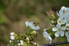 Bee with the pollen collect on cherry flowers. In the nature Stock Photography