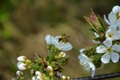 Bee with the pollen collect on cherry flowers. In the nature Stock Images