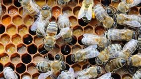 Bee with pollen collected. Pollen used for feeding young bees and alternative medicine. stock footage