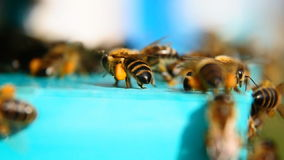 Bee with pollen, collecting pollen stock video footage