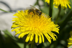 Bee. With pollen on a dandelion Stock Images