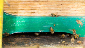 Bee with pollen that enter in the hive. Rural life, beekeeping. Bees close up Royalty Free Stock Image