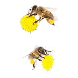 bee with pollen on flower daisies isolated Stock Photography