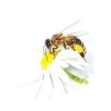 Bee with pollen on flower daisies isolated on white Stock Photography