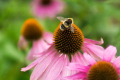 Bee on the pollen of the flower in the garden Stock Images