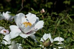 Bee with pollen fly over a white peony flower. And buds in the garden royalty free stock photography