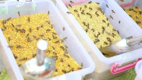 Bee on pollen grains stock video footage