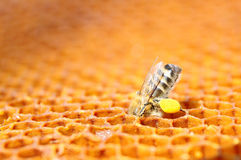 Bee with pollen on honeycomb Stock Image