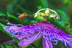 Bee and purple passion vine flower royalty free stock image