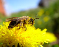 Bee and pollen. This macro shot shows a bee collecting pollen on a spring flower Royalty Free Stock Photos