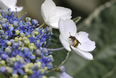 Bee with pollen in middle of a white flower. And some green and purple buds royalty free stock photo