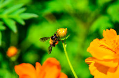 Bee. Pollen nectar of flowers Royalty Free Stock Image