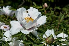 Bee with pollen over a white peony flower. And buds in the garden royalty free stock images