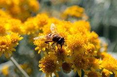 Bee on pollen Stock Photography