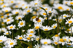 Bee with pollen. White daisy flowers.White daisies. Spring flowers royalty free stock images