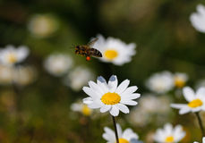 Bee with pollen. White daisy flowers.White daisies. Spring flowers royalty free stock photography