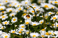 Bee with pollen. White daisy flowers.White daisies. Spring flowers stock images