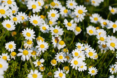 Bee with pollen. White daisy flowers. White daisies. Spring flowers royalty free stock photos