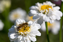 Bee. With pollen on the white flower stock images