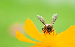 Bee on pollen of yellow flower Royalty Free Stock Images