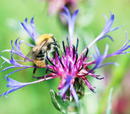 Bee pollinate beautiful cornflower Royalty Free Stock Photos