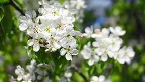 Bee pollinate blossoming pear in spring garden, white flowers of pear shakes the wind in Park stock video