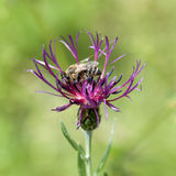 Bee pollinate a cornflower Stock Images