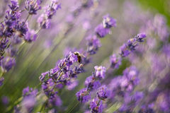 Bee pollinate lavender Royalty Free Stock Photography