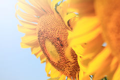 Bee that pollinate sunflower Stock Image