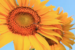 Bee that pollinate sunflower Royalty Free Stock Photo