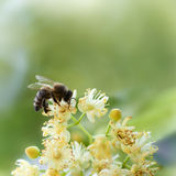 Bee pollinate a yellow flower Royalty Free Stock Photography