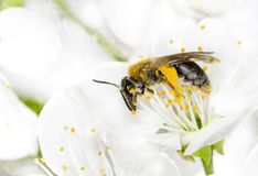 Bee pollinated a flower Royalty Free Stock Photo