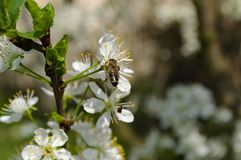 The bee pollinates the apple blossom. In spring royalty free stock photo