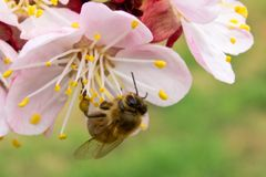 The bee pollinates the apricot blossom in the spring stock photography