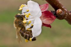Bee pollinates apricot blossoms in the spring stock image