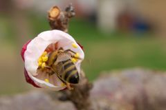 Bee pollinates apricot blossoms in the spring royalty free stock images