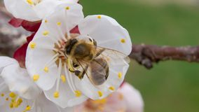 Bee pollinates apricot blossoms in the spring stock photos