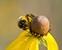 Bee pollinates blooming bright yellow flower of cut leaf coneflower Royalty Free Stock Images