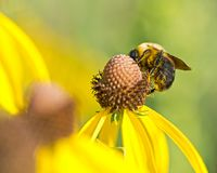 Bee pollinates blooming bright yellow flower of cut leaf coneflower Stock Photography