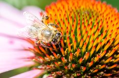 Bee pollinates a colourful flower/bee pollinates a colourful flower, top view. Bee pollinates a colourful flower/ bee pollinates a colourful flower, top view royalty free stock photos