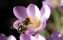 Bee pollinates Crocus. A Bee pollinates a Crocus royalty free stock photo