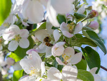 A bee pollinates a flower apple Royalty Free Stock Image
