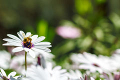 Bee pollinates a flower Stock Image