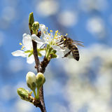 Bee pollinates a flower cherry closeup Stock Photography